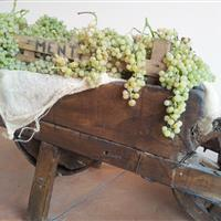 Garganega grapes in crate, it's ready for the drying in Menti cellar!