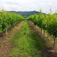 Glera grapes in Tenuta Rivalonga