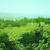 View of Costeline vineyards