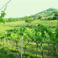 Costeline vineyards