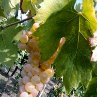 Garganega grapes in Menti vineyards