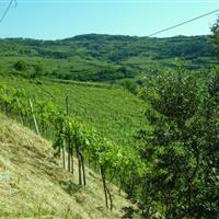 Garganega vineyards in podere Togo Rosso